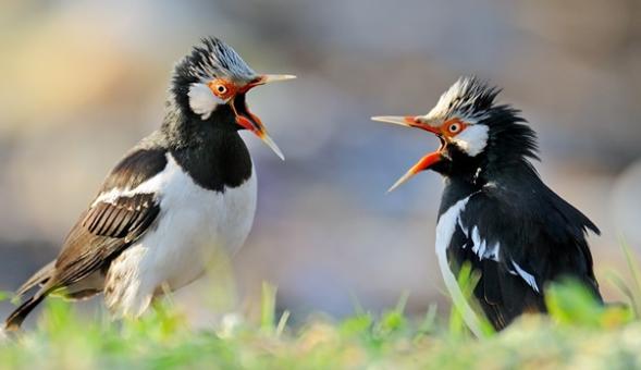 Download Suara Burung Jalak Suren Termahal