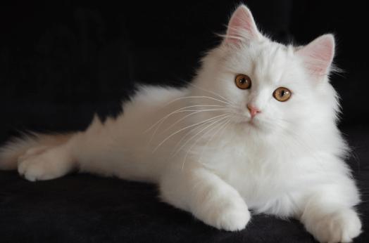 Cara Merawat Kucing Anggora Kecil