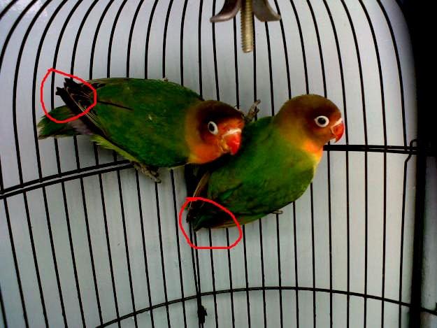 Bentuk Sayap Lovebird