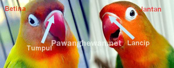 Bentuk paruh lovebird jantan dan betina