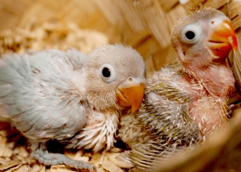 Cara Merawat Lovebird Umur 2 Minggu