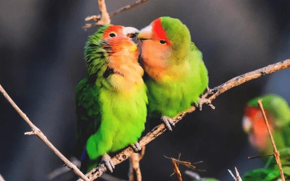 Cara Ternak Lovebird Lengkap