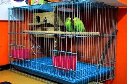 Contoh Kandang Ternak Lovebird Ukuran 60 x 40 x 40