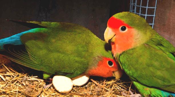 Lovebird mengeram telur