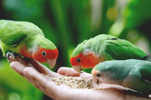 Pakan Tambahan Lovebird