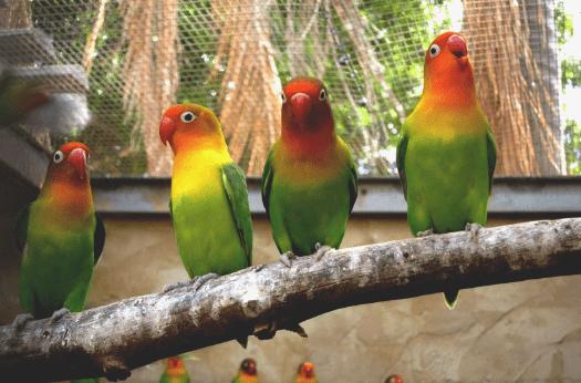 Cara Memilih Indukan Lovebird