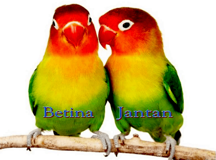 Postur tubuh lovebird jantan dan betina
