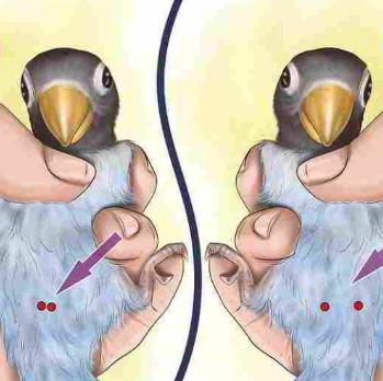 Tulang Pubis Lovebird