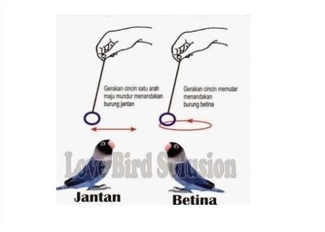 membedakan lovebird menggunakan cincin