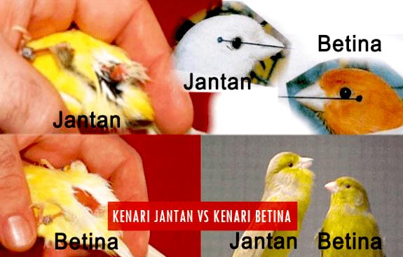 Perbedaan Kenari Jantan dan Betina