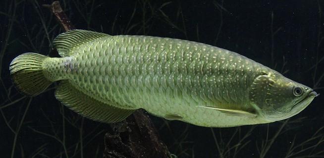 Harga Ikan Arwana Irian Jardini