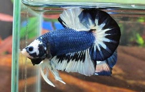 Harga Ikan Cupang Plakat