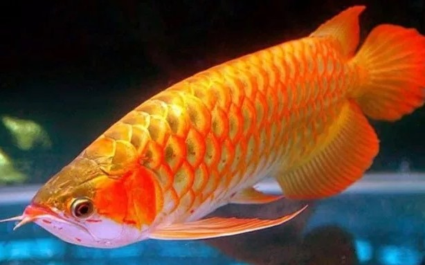 Ikan Arwana Golden Red