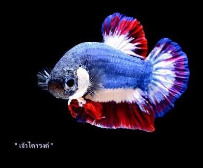 Ikan Cupang Fancy