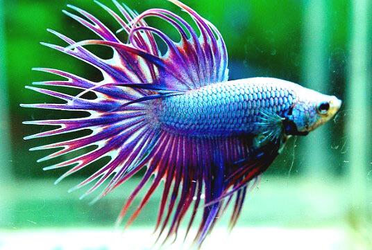 Ikan Cupang Serit