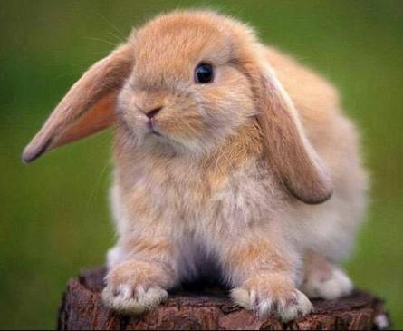 Jenis Kelinci Hias Lop
