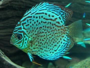 Harga Ikan Discus Green