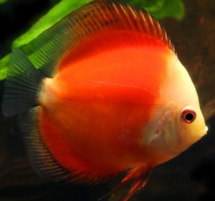 Jenis Ikan Discus Red Marlboro