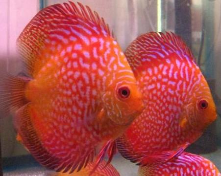 Ikan Discus Red Ribbon