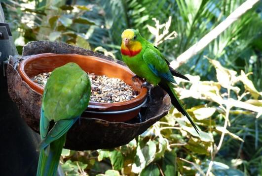 Makanan Burung Parkit Biar Gacor