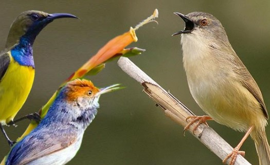 Kombinasi Suara Burung Kecil