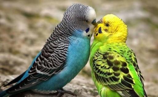 Download Suara Burung Parkit Mp3